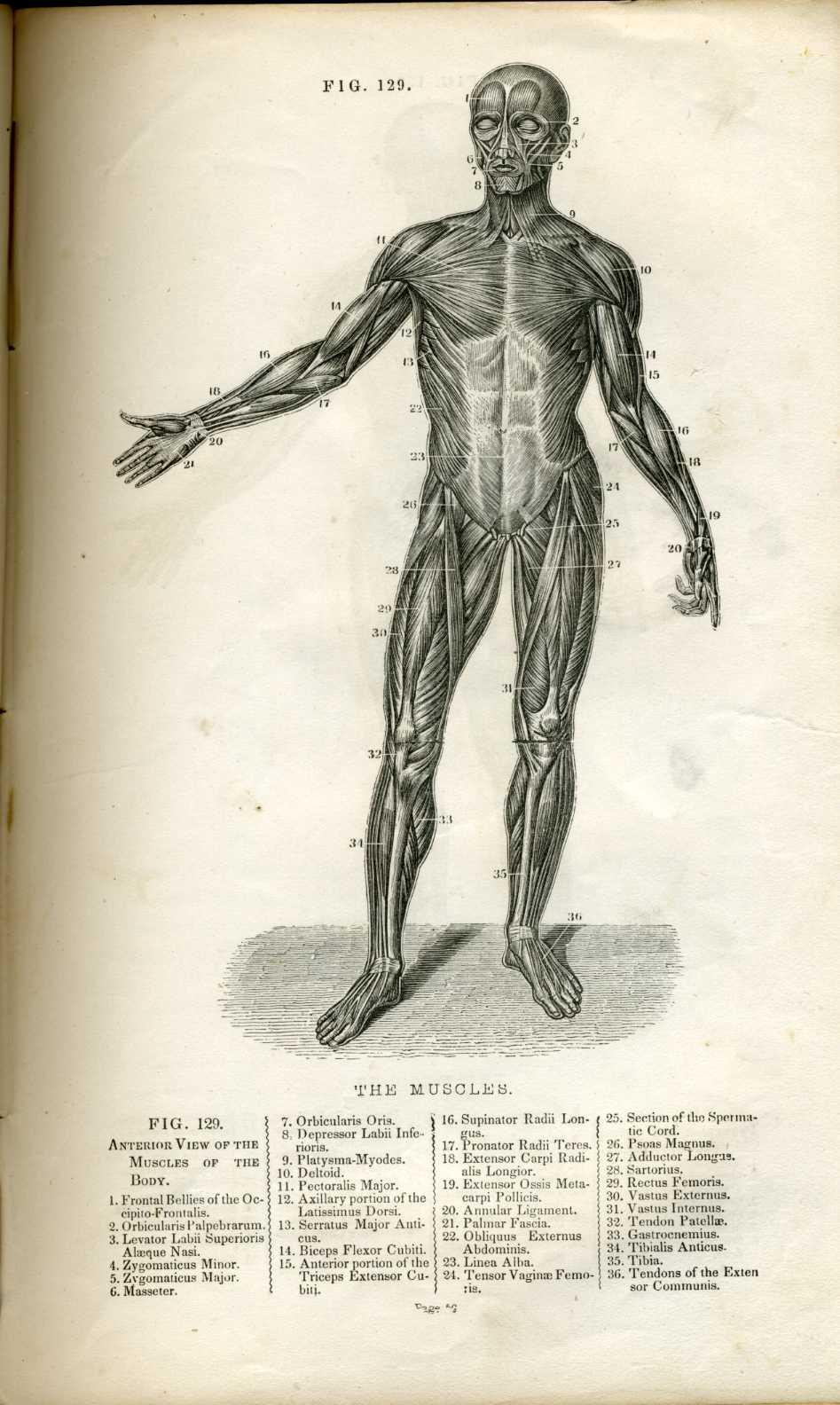 Atlas Anatomy Human Body Gallery Human Internal Organs Diagram